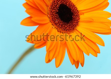 Orange daisy-gerbera flower with stem against a soft blue background