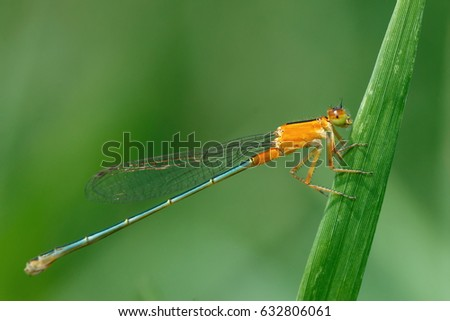 Orange Damselfly, Damselfly, insects. #632806061