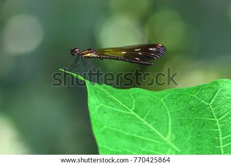 Orange Damselfy/Dragon Fly/Zygoptera sitting in the edge of green leaf #770425864