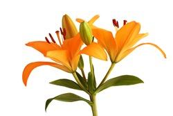 Orange day lily flower isolated on white background