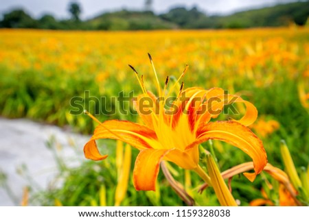 Orange daylily flower(Tawny daylily) bloom over the whole chih-ke Mountain(chi ke shan) with the background of bright blue sky and white cloud in the Hualian, Taiwan, close-up.