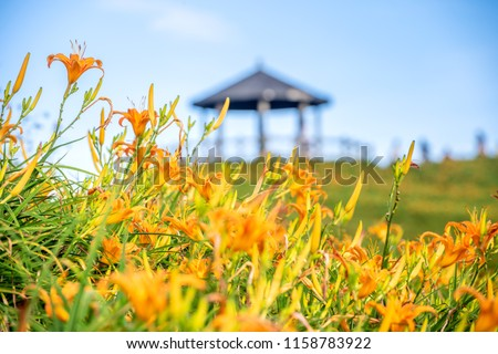 Orange daylily flower(Tawny daylily) bloom over the whole Taimali Mountain with the background of bright blue sky and white cloud in the Taitung, Taiwan, close-up.