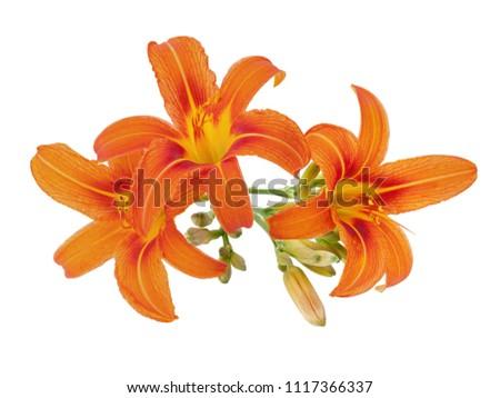 orange daylily with bud isolated on white
