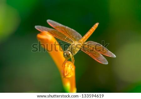 Orange dragonfly on a orange flower