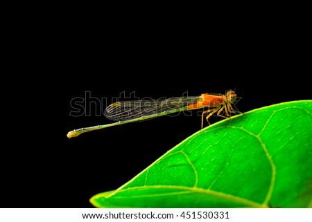 orange dragonfly on green leaves on black background