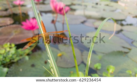 Orange dragonfly on the grass in the lotus pond.