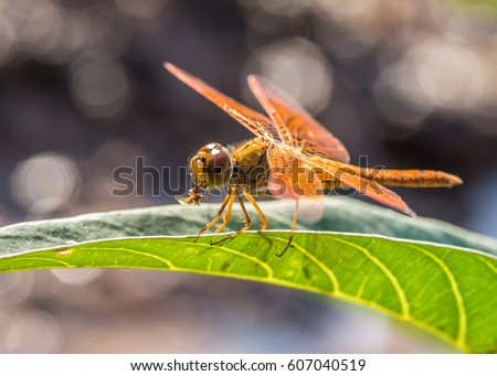 orange dragonfly on the leaves eating insects #607040519