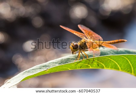 orange dragonfly on the leaves eating insects #607040537