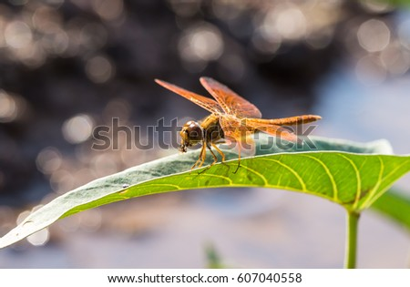 orange dragonfly on the leaves eating insects #607040558