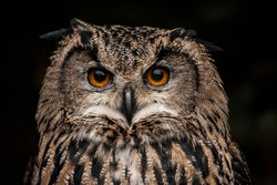 Orange eyed brown eagle owl (Bubo bubo) portrait on dark background