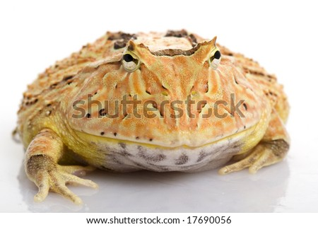 Orange Fantasy Horned Frog (Ceratophrys) on white background. - stock photo