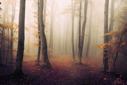 Orange feel in foggy forest during autumn day. Red and orange leaves in the woods. Fairy tale landscape in the woods