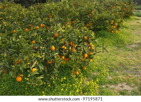 Orange field loaded with ripe ready to harvest fruit - stock photo