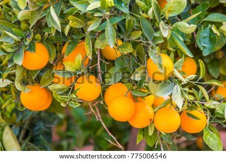 orange field, oranges grow on tree