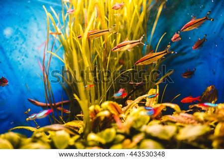 Orange fish swim in a blue aquarium #443530348