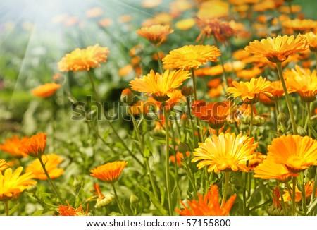 Orange Flower. Calendula