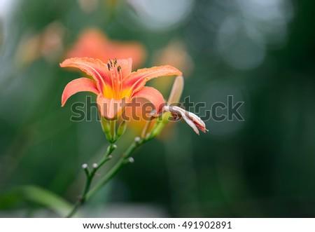 Orange flower landscape and green grass background. Flower. Amazing flower landscape. lilia flower, Cute flower Amazing flower. flower Colored flower. Sunny flower Awesome flower Flower, flower view