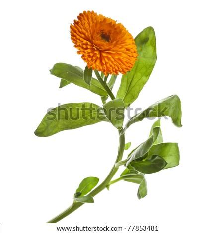 orange flower of calendula Isolated