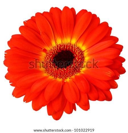 Orange flower of gerber isolated on white background
