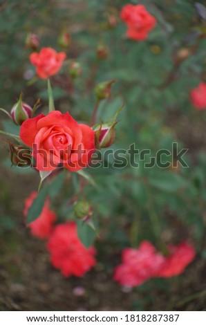 Orange Flower of Rose 'Petite Folie' in Full Bloom  Stock fotó ©