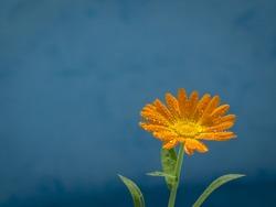 Orange flower on a blue background