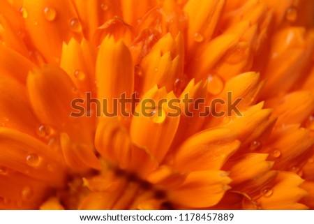 orange flower pattern, orange flower background, calendula officinalis, macro photo, detail of orange petals, water drops on petals