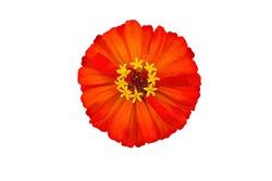 Orange flower, white background, isolated.