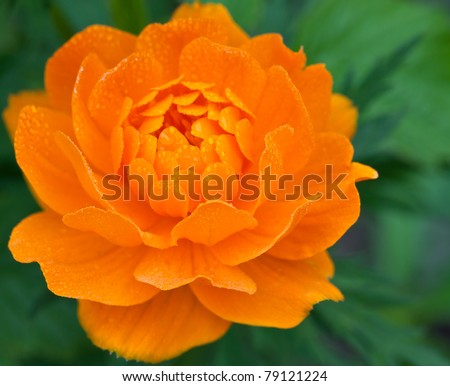 orange flower with dew drops in close-up