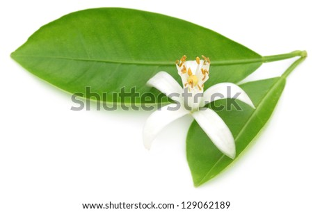 Orange flower with green leaves - stock photo