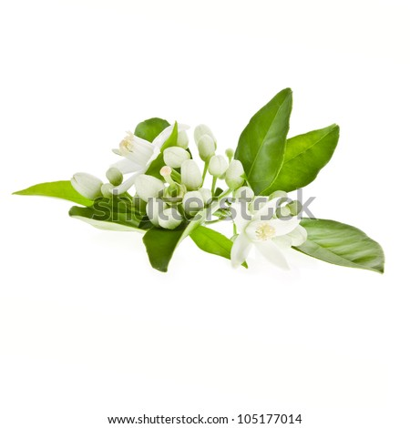Orange flowering branches isolated on white background.