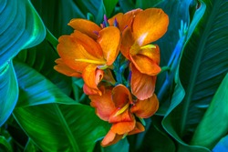 Orange Flowering Plant with Large Green Leaf Background. Photo by Ted Webb