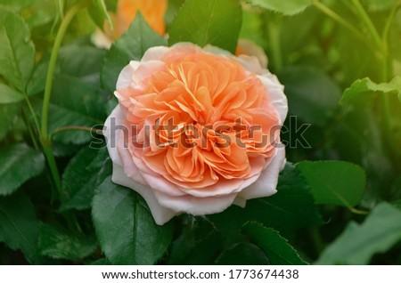 Orange flowering rosa Lady of Shalott in garden