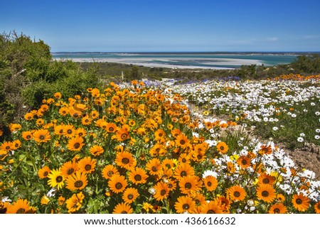 Orange flowers covers the fields along the Cape West Coast in South Africa after heavy rains during the flower season in Spring time #436616632