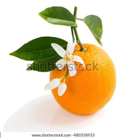 Orange fruit and orange blossom on a twig with green leaves isolated on white background.