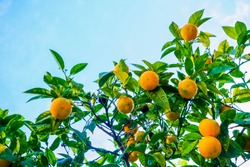 Orange fruits tree against blue sky with green leaves on tree. Fresh oranges.