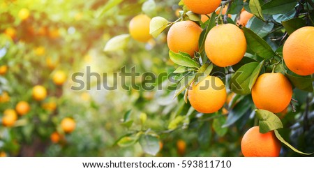 Orange garden - Shutterstock ID 593811710