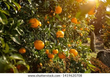 Orange garden from Jeju Island, South Korea. Сток-фото ©