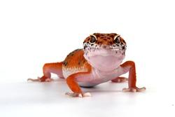 Orange gecko lizard on white background, eublepharis macularius, animal closeup