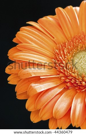 Orange gerber daisy in black background. Amazing colors