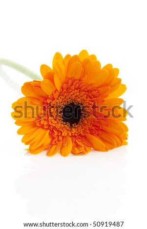 Orange gerber flower in closeup over white background