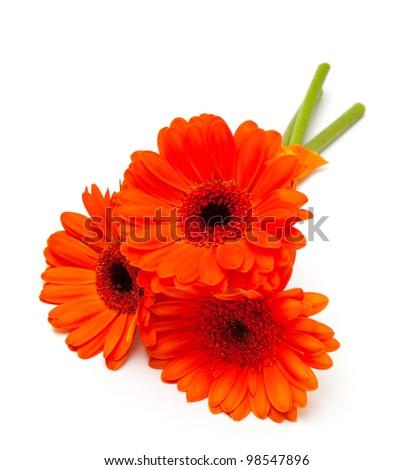 orange gerber flower isolated on white