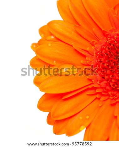 orange gerber flower with water drops and empty space for your text
