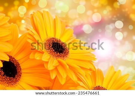 Orange gerber flowers on color background