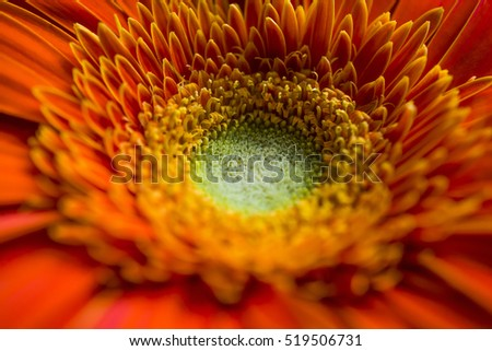 Orange gerbera close up