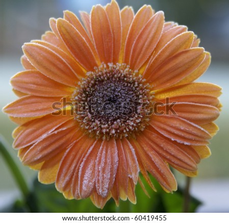 Orange gerbera daisy covered by the first frost of fall.