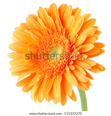 Orange gerbera daisy flower isolated on white background.