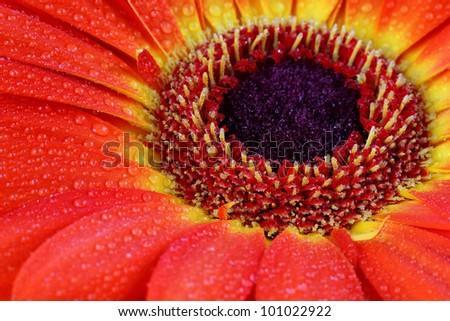 Orange gerbera daisy, macro