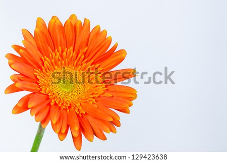 orange gerbera daisy on a white background - stock photo