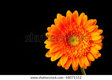 Orange Gerbera Daisy on Black Background - stock photo