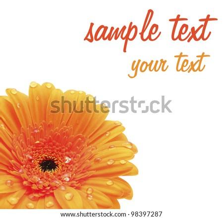Orange Gerbera  Flower.